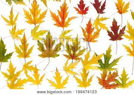 Autum season maple leaves pattern isolated on white background with copy space.