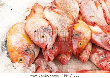 Aquaculture farm fresh red tilapia snapper fish chilled on ice for sale in market poster