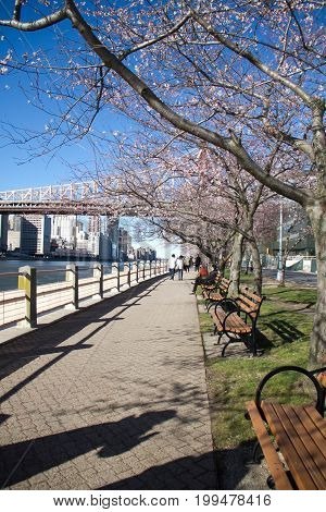 Cherry blossom tree next to walkway and river at Roosevelt island