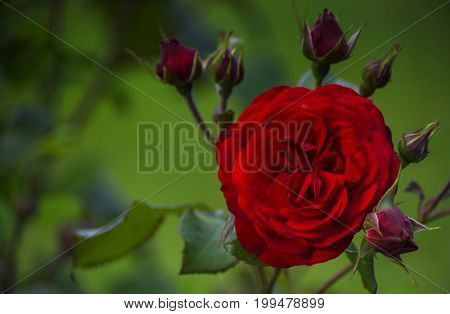 As a symbol of passion velvet petals of a red rose flower among buds.