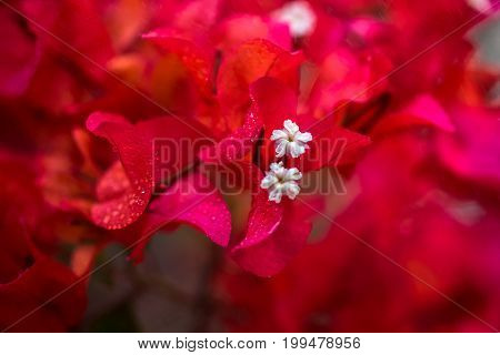 Closeup the Bougainvillea  blooming in the nature poster