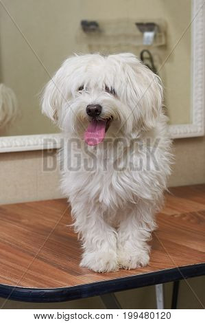 Healthy white maltese dog. Friendly dog indoor.