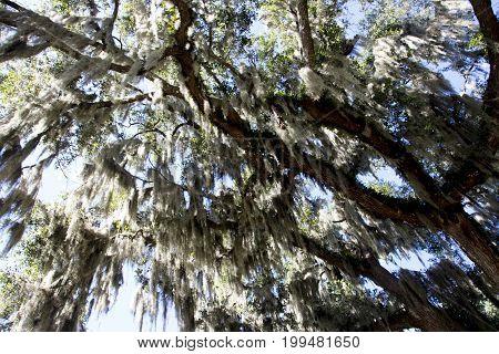 oak tree ocala florida shalom park spanish moss
