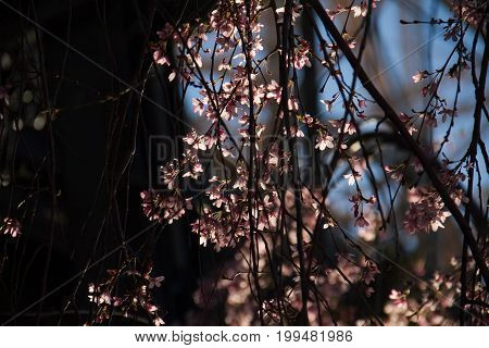 Tiny pink flowers and branches in the dark and blurred background