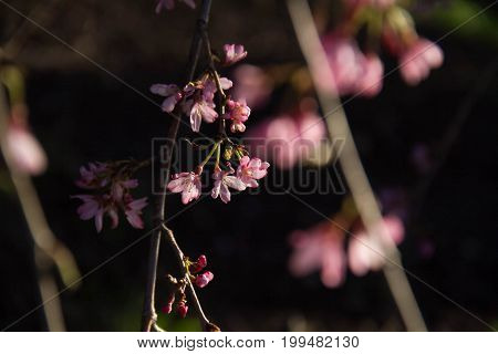 Tiny pink flowers on branches with sunlight, shadow and blurred background