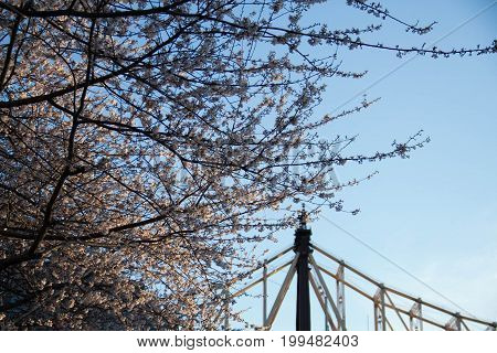 Cherry blossom tree and Queensboro bridge with sunset light in springtime