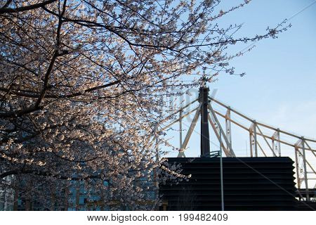 Cherry blossom tree and Queensboro bridge with sunset light, New York