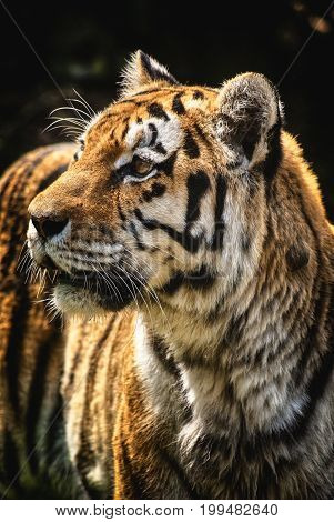 Tiger portrait angry predator watch on hunter wild nature