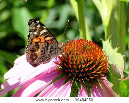 Junonia coenia butterfly on a flower in garden on bank of the Lake Ontario in Toronto Canada August 8 2017