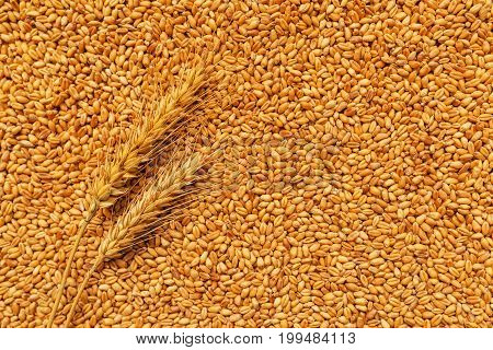 Wheat ears and grains after harvest of cereal crops agriculture and farming concept
