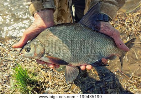 Big bream in fisherman's hand, spring catch, toned image