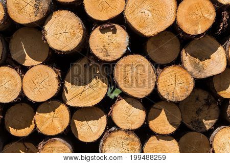 Wood logs. Timber logging in forest. Freshly cut tree logs piled up as background texture