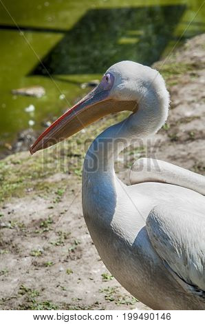 The great white pelican. A close up