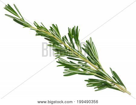 Fresh green rosemary sprig isolated on a white background. Design element for product label, catalog print, web use.