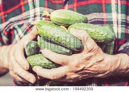 Agriculture, farming and gardening concept. Detail of wrinkled man hands holding cucumbers at farm greenhouse. Close up toned image