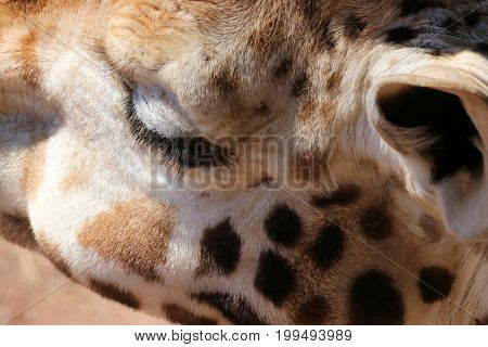 head of a giraffe with close up of his eye