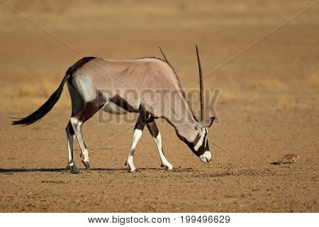 Curious gemsbok antelope (Oryx gazella) and a ground squirrel, Kalahari desert, South Africa