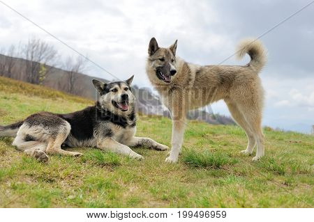 Two mongrel dogs in the mountain landscape
