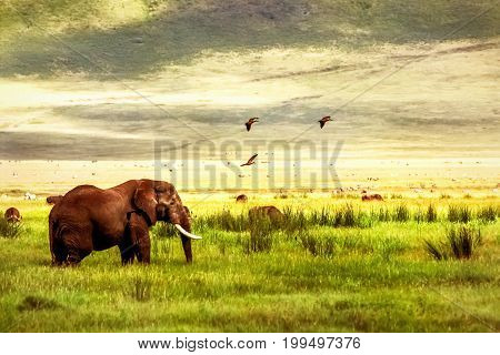 African elephant in the Ngorongoro crater in the background of mountains and green grass. African travel image.