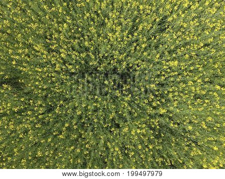 Field Of Flowering Rape. Top View From The Drone. Rape, A Syderatic Plant With Yellow Flowers. Field