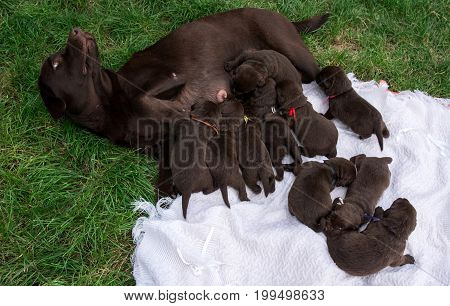 Mom dog feeds ten cute puppies. Animal care. Pets.