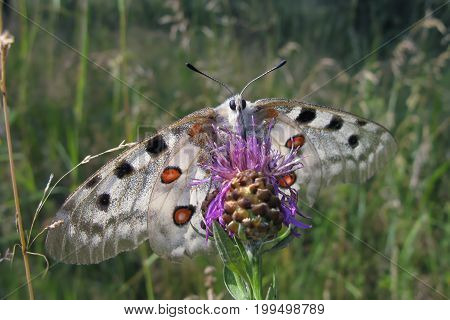 Apollo butterfly (Parnassius Apollo), with large white wings and pattern of red and black spots, sitting on pink flower agains green grass background.