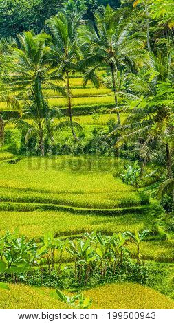 Beautiful palm trees growing in cascade amazing Tegalalang Rice Terrace fields, Ubud, Bali, Indonesia.