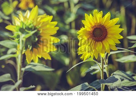 Two Blooming Sunflowers
