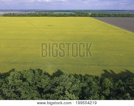 Field Of Flowering Rape And Forest Belts For Wind Protection. Rape, A Syderatic Plant With Yellow Fl