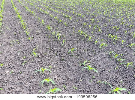 Field Of Young Corn. Shoots Of Corn On The Field. Fodder Corn For Silage.