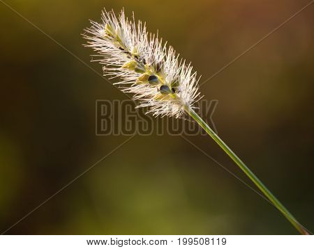 Single blade of tufted grass in morning light