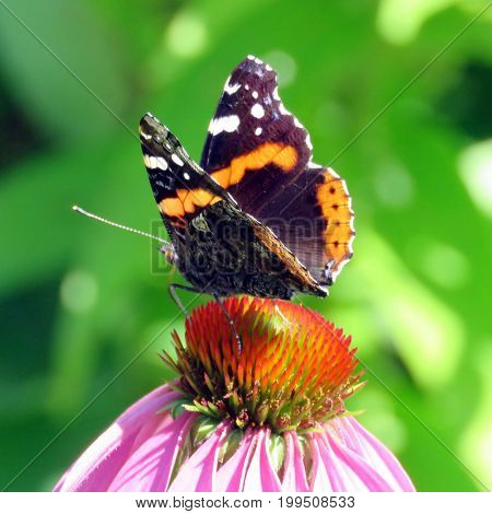 Red Admiral Butterfly in garden on bank of the Lake Ontario in Toronto Canada August 8 2017