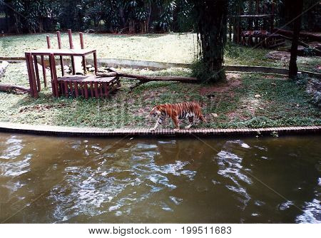 A tiger (Panthera tigris) walks beside a moat in an exhibit at the Singapore Zoo.