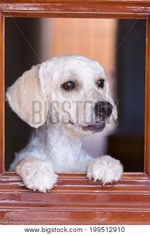 Portrait of handsome white French poodle with short trimmed fur holding self up with paws while looking through window with happy anxious expression