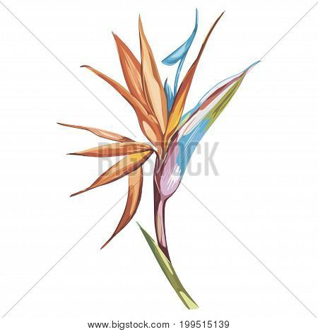 Strelitzia isolated on white background. Tropical set, Watercolor sketch object.