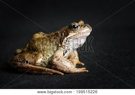 Frog Swamp In Profile Isolated On Black Background