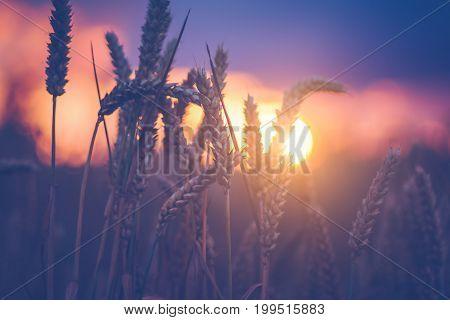 Wheat ears in evening sunset light. Natural light back lit. Beautiful sun flares bokeh.