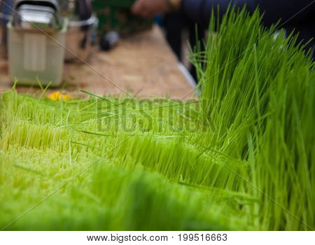 preparing fresh juice from a bright green grass