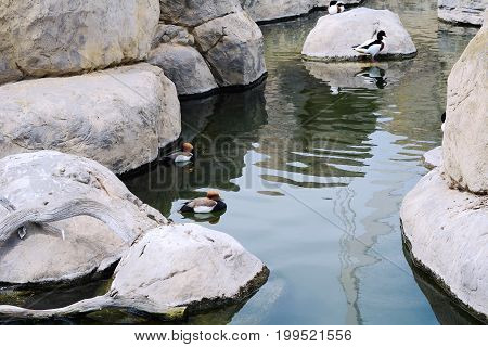 Some ducks swimming in the lake. Outdoors