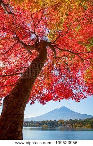 Red maple tree and Mountain Fuji at kawaguchiko lake in autumn season