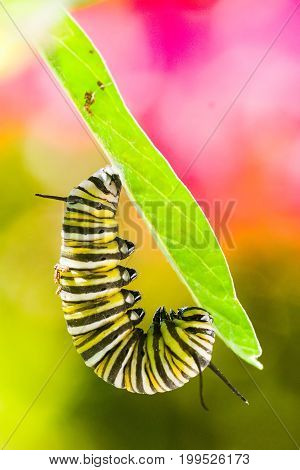 Metamorphosis - Monarch caterpillar forming chrysalis macro shot