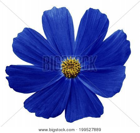 Dark Blue flower Kosmeja white isolated background with clipping path. No shadows. Closeup. Nature.