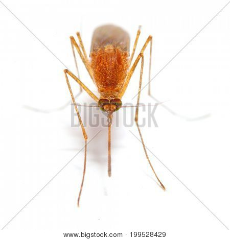 Anopheles mosquito, dangerous vehicle of zika, dengue, chikungunya, malaria and other infections.  Insect isolated on white background.