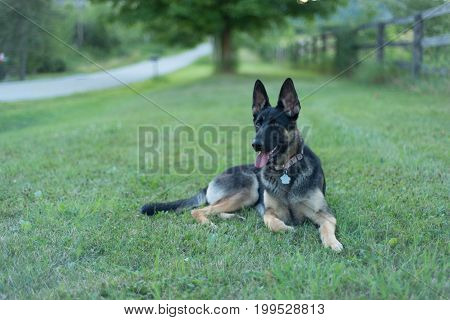 German Sheppard smiling on a boulevard by the side of the road