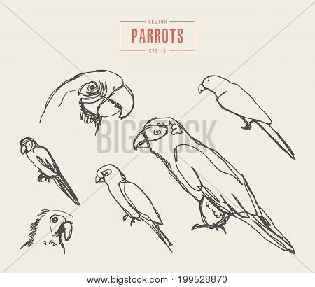 Collection of realistic parrots, hand drawn vector illustration, sketch
