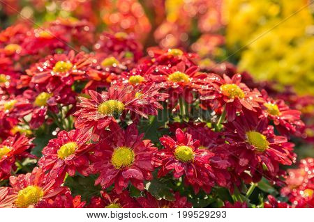 close up of bright red daisy chrysanthemum flowers with raindrops
