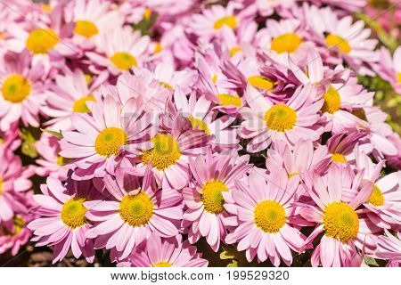 close-up of pink daisy chrysanthemum flowers in bloom