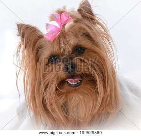female yorkshire terrier on white background