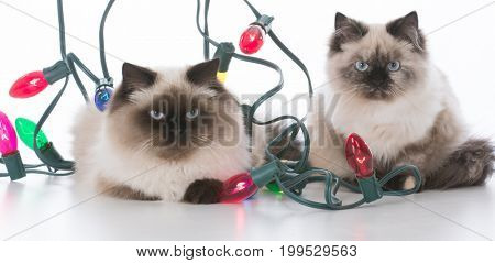 two christmas kittens wrapped up in lights