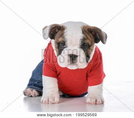 cute bulldog puppy wearing jeans and red shirt